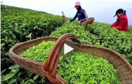 """""""清明茶,贵如金"""",最是一年好茶时"""